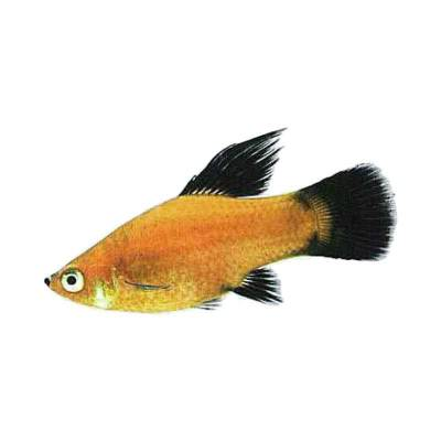 Ikan Hias Air Tawar Black Tail Platy (SM)
