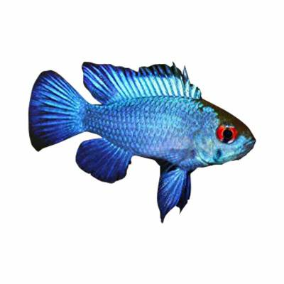 Ikan Hias Air Tawar Blue Electric