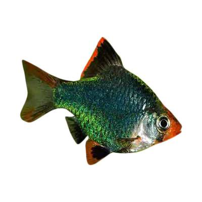 Ikan Hias Air Tawar Green Tiger Barb SM