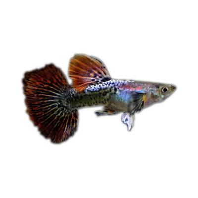Ikan Hias Air Tawar Guppy Dragon