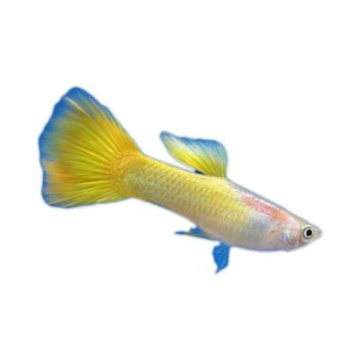 Ikan Hias Air Tawar Guppy Lemon