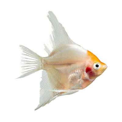 Ikan Hias Air Tawar Albino Red Eye Angel SM