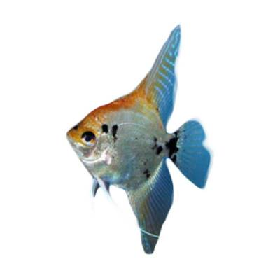 Ikan Hias Air Tawar Angelfish Mix M