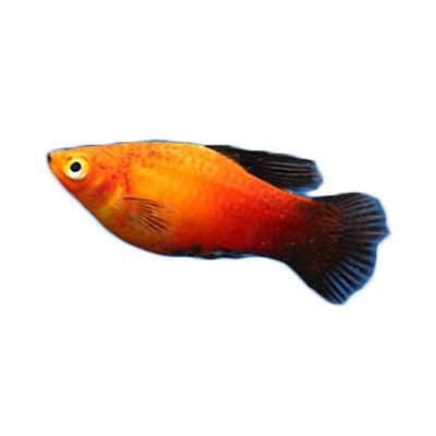 Ikan Hias Air Tawar Assorted Platy SM