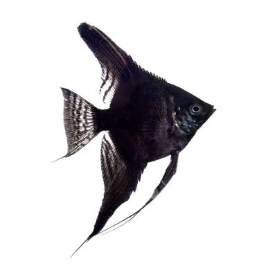 Ikan Hias Air Tawar Black Angel SM