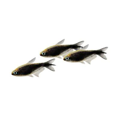 Ikan Hias Air Tawar Black Emperror Tetra ML