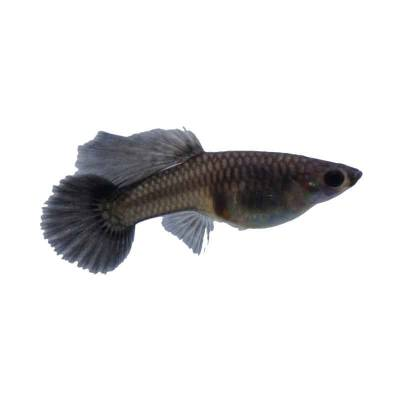 Black Guppy (Female)