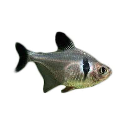 Ikan Hias Air Tawar Black Phantom Tetra M