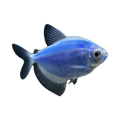 Ikan Hias Air Tawar Blue Diamond Tetra M