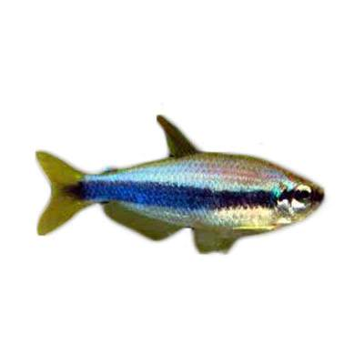 Ikan Hias Air Tawar Blue Emperor Tetra ML