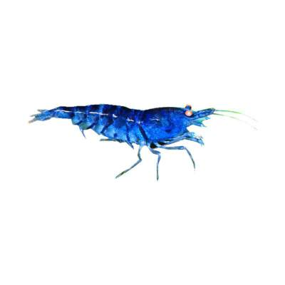 Udang Hias Aquasqape Blue striped