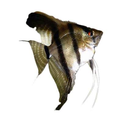 Ikan Hias Air Tawr B/W Angelfish SM