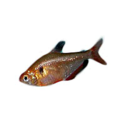 Ikan Hias Air Tawar Calistus Tetra ML