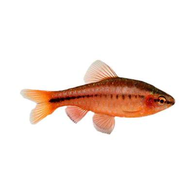 Ikan Hias Air Tawar Cherry Barb M