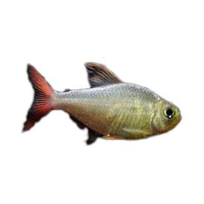 Ikan Hias Air Tawar Colombia Red Fin Tetra ML
