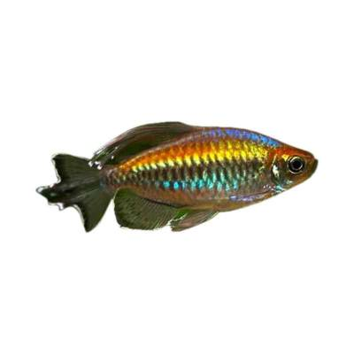 Ikan Hias Air Tawar Congo Tetra ML