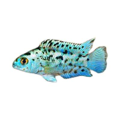Ikan Hias Air Tawar Electric Blue Jack Dempsey