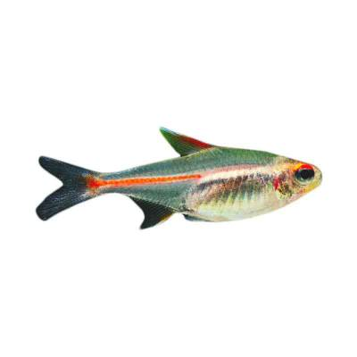 Ikan Hias Air Tawar Glow Light Tetra M