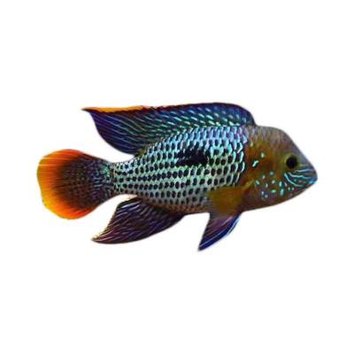 Ikan Hias AIr Tawar Green Terror 1,5