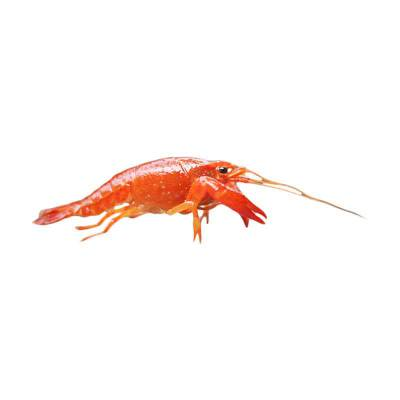 Lobster Hias Air Tawar Red Malboro Lobster