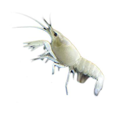 Lobster Hias Air Tawar White Snow Lobster