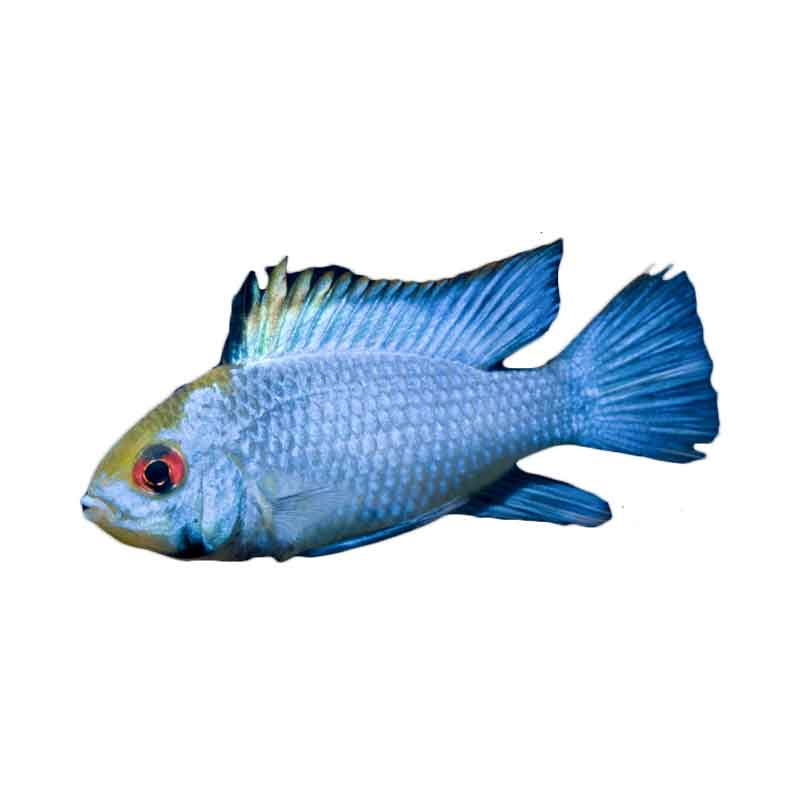Ikan Hias Air Tawar Electric Blue Ramerezy 1,5