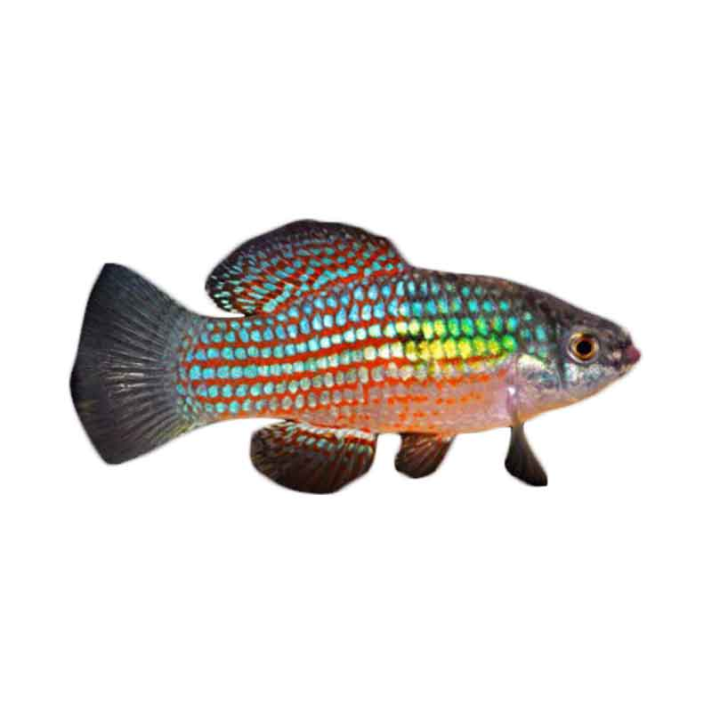 Flag Fish - Ikan Hias Air Tawar