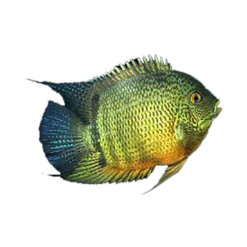 Ikan Hias Air Tawar Green Severum 1,25